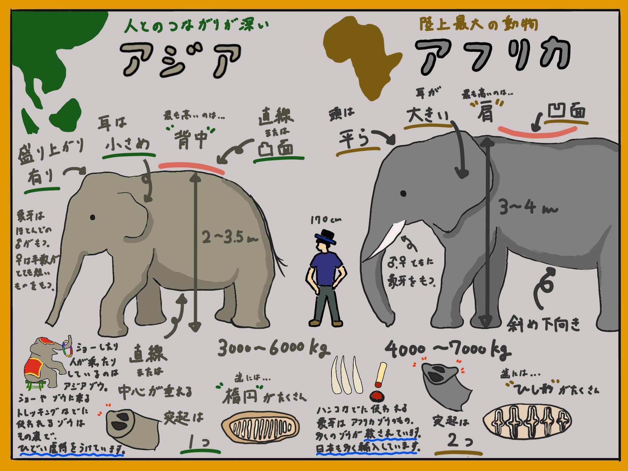 獣医学生が解説!!アジアゾウとアフリカゾウの違い